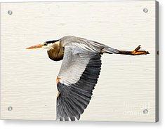 Great Blue Heron In Flight Acrylic Print by Dennis Hammer