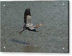 Acrylic Print featuring the photograph Great Blue Heron In Flight by Kathleen Stephens