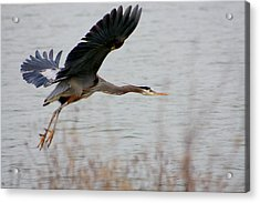 Great Blue Heron In Flight Acrylic Print by Nick Gustafson