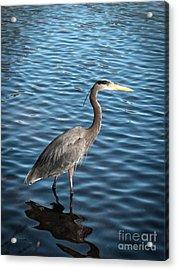 Great Blue Heron In Light Acrylic Print