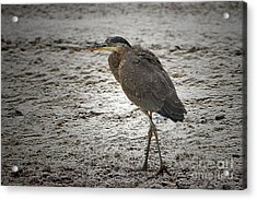 Great Blue Heron In The Snow Acrylic Print by Sharon Talson