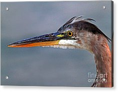 Great Blue Heron Acrylic Print by Jim Beckwith