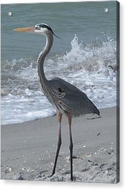 Great Blue Heron Acrylic Print by Jeanette Oberholtzer