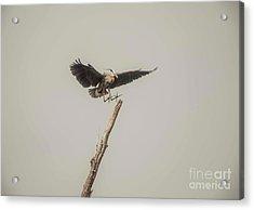 Acrylic Print featuring the photograph Great Blue Heron Landing by David Bearden