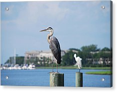 Acrylic Print featuring the photograph Great Blue Heron by Margaret Palmer
