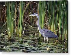 Great Blue Heron Acrylic Print by Natural Selection David Spier