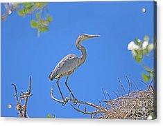 Great Blue Heron Nest Protector  Acrylic Print