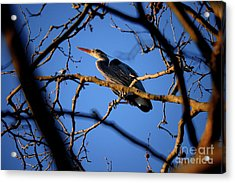 Acrylic Print featuring the photograph Great Blue Heron Nesting 2017 - 2 by Terry Elniski