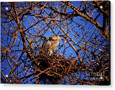 Acrylic Print featuring the photograph Great Blue Heron Nesting 2017 - 4 by Terry Elniski
