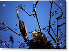 Acrylic Print featuring the photograph Great Blue Heron Nesting 2017 - 5 by Terry Elniski