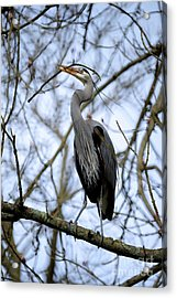 Acrylic Print featuring the photograph Great Blue Heron Nesting 2017 - 6 by Terry Elniski