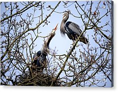 Acrylic Print featuring the photograph Great Blue Heron Nesting 2017 - 8 by Terry Elniski