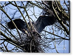 Acrylic Print featuring the photograph Great Blue Heron Nesting 2017 - 9 by Terry Elniski