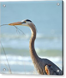 Great Blue Heron Nesting Acrylic Print by Rose  Hill
