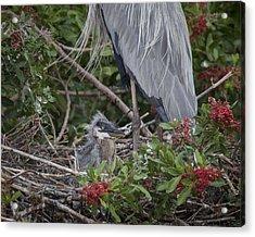 Great Blue Heron Nestling Acrylic Print