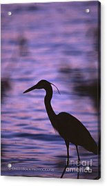 Great Blue Heron Photo Acrylic Print