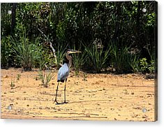 Acrylic Print featuring the photograph Great Blue Heron On Beach by Sheila Brown
