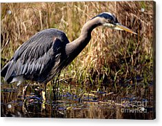 Acrylic Print featuring the photograph Great Blue Heron On The Hunt 1 by Terry Elniski