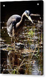 Acrylic Print featuring the photograph Great Blue Heron On The Hunt 2 by Terry Elniski