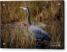 Acrylic Print featuring the photograph Great Blue Heron On The Hunt 3 by Terry Elniski