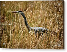 Acrylic Print featuring the photograph Great Blue Heron On The Hunt 4 by Terry Elniski