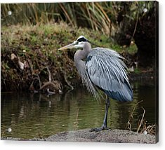 Acrylic Print featuring the photograph Great Blue Heron On The Watch by George Randy Bass