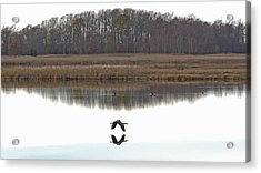 Great Blue Heron Over Glassy Water Acrylic Print by Jennifer Nelson