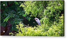 Great Blue Heron Acrylic Print by Peter Tellone