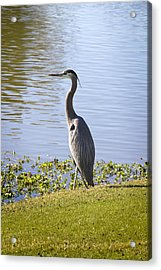 Acrylic Print featuring the photograph Great Blue Heron by Phyllis Denton