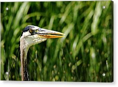 Acrylic Print featuring the photograph Great Blue Heron Portrait by Debbie Oppermann