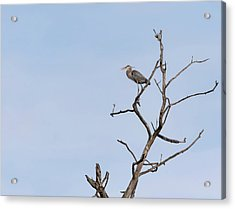 Acrylic Print featuring the photograph Great Blue Heron Presentation 2017-1  by Thomas Young