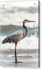 Acrylic Print featuring the photograph Great Blue Heron Profile by Patti Deters