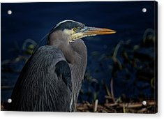 Acrylic Print featuring the photograph Great Blue Heron by Randy Hall