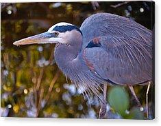 Great Blue Heron Acrylic Print by Rich Leighton