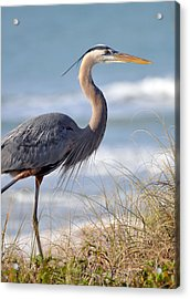 Great Blue Heron Acrylic Print by Rose  Hill