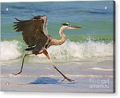 Great Blue Heron Running In The Surf Acrylic Print