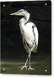 Great Blue Heron Standing Profile Acrylic Print