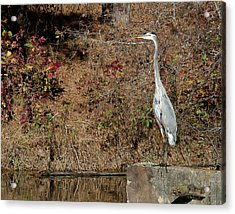 Great Blue Heron Standing Tall Acrylic Print by George Randy Bass