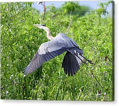 Great Blue Heron Takeoff Acrylic Print by Barbara Bowen