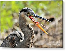Acrylic Print featuring the photograph Great Blue Heron Tongue by Debbie Stahre