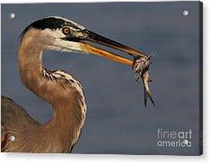 Great Blue Heron W/catfish Acrylic Print