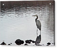 Great Blue Heron Wading 3 Acrylic Print by Douglas Barnett