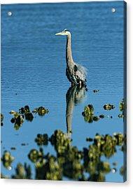 Great Blue Heron Wading Acrylic Print