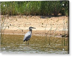 Acrylic Print featuring the photograph Great Blue Heron Wading by Sheila Brown