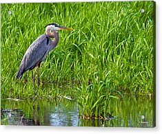 Great Blue Heron Waiting Acrylic Print