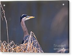 Acrylic Print featuring the photograph Great Blue Heron Waiting by Sharon Talson