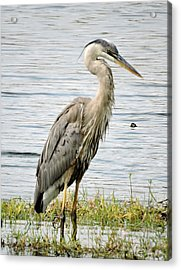 Great Blue Heron Acrylic Print by William Albanese Sr