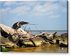 Great Blue Heron Wings Outstretched Acrylic Print by Rebecca Sherman