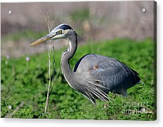 Great Blue Heron Acrylic Print by Wingsdomain Art and Photography