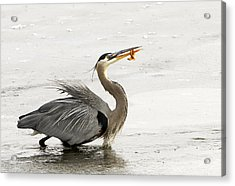 Great Blue Heron With Leech Acrylic Print by Dennis Hammer